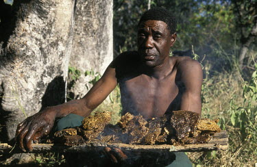 Wild comb honey gathered in the traditional African manner - Botswana, Africa African honey bee,Apis mellifera adansonii