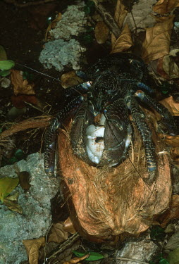 Coconut crab on a coconut, dorsal view - Africa Coconut crab,Birgus latro,Arthropoda,Arthropods,Decapoda,Crayfish, Lobsters, Crabs,Robber crab,Crabe De Cocotier,Birgus,Animalia,Crustacea,Shore,Rock,Omnivorous,Indian,Coenobitidae,Pacific,Data Defici