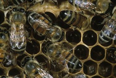 African honey bee worker bees on honey comb - Africa African honey bee,Apis mellifera adansonii