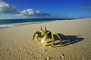 Horned ghost crab on the sand with a long shadow, side view - Seychelles Horned ghost crab,Ocypode ceratopthalmus