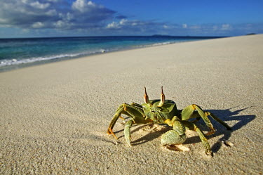 Horned ghost crab on the sand with a long shadow, front view - Seychelles Horned ghost crab,Ocypode ceratopthalmus