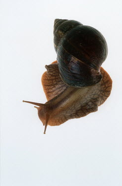 Bushveld land snail shot in a studio setting, dorsal view White background,shell,Macro,macrophotography,Close up,exoskeleton,Bushveld land snail,Achatina immaculata