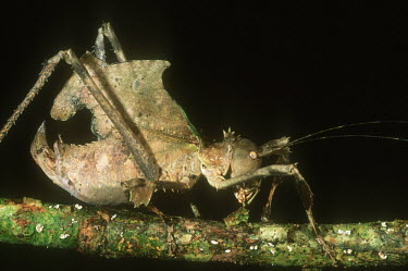 Katydid camouflaged to mimic a leaf, a defense from predators side view - Central African Republic Katydid,Tettigonidae spp