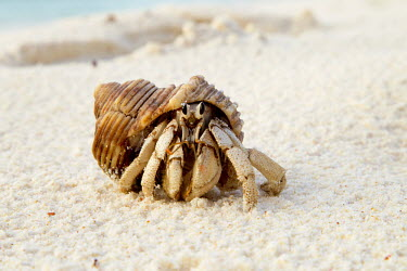 Hermit Crab front vew - Seychelles Hermit Crab,Anomura spp,Arthropoda,Arthropods,Decapoda,Crayfish, Lobsters, Crabs,Common hermit crab,Crustacea,Animalia,Coastal,Omnivorous,Europe,Shore,Aquatic,Terrestrial,Pagurus,Common,Paguridae
