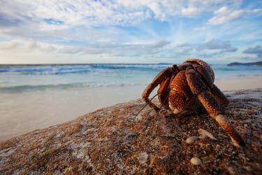 Hermit Crab on a rock - Seychelles Hermit Crab,Anomura spp,Arthropoda,Arthropods,Decapoda,Crayfish, Lobsters, Crabs,Common hermit crab,Crustacea,Animalia,Coastal,Omnivorous,Europe,Shore,Aquatic,Terrestrial,Pagurus,Common,Paguridae