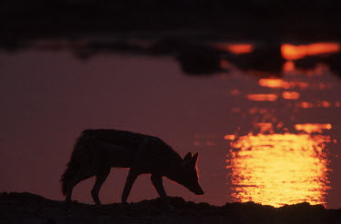 Black-backed jackal silhouetted against sunset - Namibia, Africa Black-backed jackal,Canis mesomelas,Carnivores,Carnivora,Mammalia,Mammals,Dog, Coyote, Wolf, Fox,Canidae,Chordates,Chordata,silver-backed jackal,Semi-desert,Forest,Terrestrial,Mountains,Canis,Animalia
