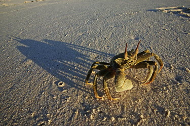 Horned ghost crab on the sand with a long shadow - Seychelles Horned ghost crab,Ocypode ceratopthalmus