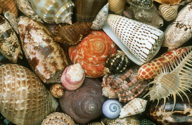 Selection of shells of marine snails, an illustration of biodiversity - African coasts Marine snail,Gastropoda