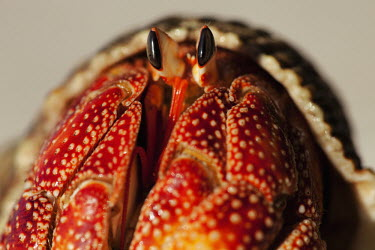 Hermit Crab close-up, front view - Seychelles Hermit Crab,Anomura spp,Arthropoda,Arthropods,Decapoda,Crayfish, Lobsters, Crabs,Common hermit crab,Crustacea,Animalia,Coastal,Omnivorous,Europe,Shore,Aquatic,Terrestrial,Pagurus,Common,Paguridae