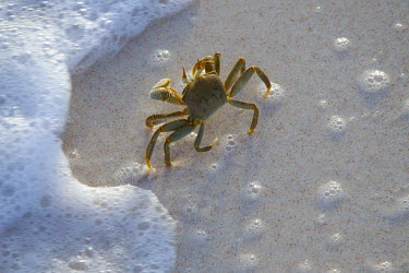 Horned ghost crab on the shoreline - Seychelles Horned ghost crab,Ocypode ceratopthalnus