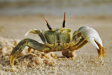 Horned ghost crab digging a burrow in the sand - Mozambique Horned ghost crab,Ocypode ceratopthalnus