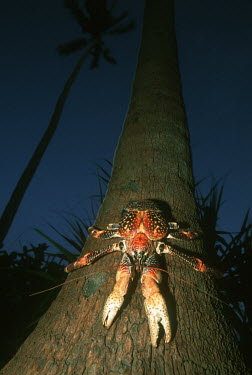 Coconut crab climbing a tree - Africa Coconut crab,Birgus latro,Arthropoda,Arthropods,Decapoda,Crayfish, Lobsters, Crabs,Robber crab,Crabe De Cocotier,Birgus,Animalia,Crustacea,Shore,Rock,Omnivorous,Indian,Coenobitidae,Pacific,Data Defici