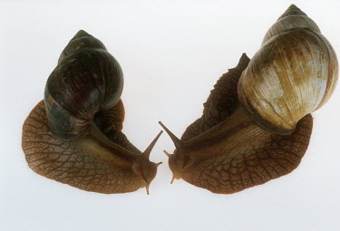 Pair of bushveld land snails shot in a studio setting, dorsal view exoskeleton,shell,Macro,macrophotography,Close up,White background,Bushveld land snail,Achatina immaculata