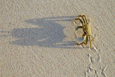 Horned ghost crab on the sand with tracks, dorsal view - Seychelles Horned ghost crab,Ocypode ceratopthalnus