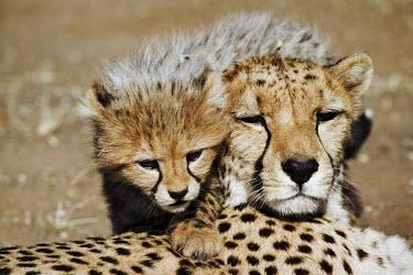 Portrait of cheetah mother and cub - Namibia, Africa Big cat,Cheetah,Acinonyx jubatus,Chordates,Chordata,Carnivores,Carnivora,Mammalia,Mammals,Felidae,Cats,Gu�pard,Chita,Guepardo,jubatus,Savannah,Appendix I,Africa,Acinonyx,Critically Endangered,Carnivor