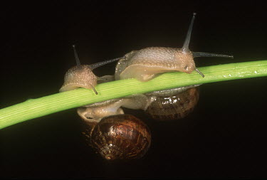 Pair of garden snails on branch, shot in a studio setting Macro,macrophotography,Close up,exoskeleton,shell,Garden snail,Cantareus aspersus.,Gastropoda,Gastropods,Mollusca,Mollusks,Sand-dune,Animalia,Herbivorous,Asia,Common,Stylommatophora,North America,Fore