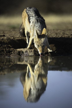 Black-backed jackal drinking at waterhole - Africa Black-backed jackal,Canis mesomelas,Carnivores,Carnivora,Mammalia,Mammals,Dog, Coyote, Wolf, Fox,Canidae,Chordates,Chordata,silver-backed jackal,Semi-desert,Forest,Terrestrial,Mountains,Canis,Animalia
