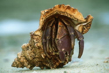 Hermit Crab on sand - Seychelles Hermit Crab,Anomura spp,Arthropoda,Arthropods,Decapoda,Crayfish, Lobsters, Crabs,Common hermit crab,Crustacea,Animalia,Coastal,Omnivorous,Europe,Shore,Aquatic,Terrestrial,Pagurus,Common,Paguridae