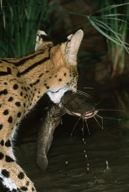 Serval catching fish from a receding waterhole - Africa Serval,Leptailurus serval,Felidae,Cats,Mammalia,Mammals,Carnivores,Carnivora,Chordates,Chordata,Chat-tigre,Leptailurus,Least Concern,Africa,Savannah,Carnivorous,Animalia,serval,Terrestrial,Appendix II