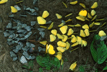 Butterflies gather at mineral deposits in the tropical Rainforest - Gabon, Africa Pieridae and Lycaenidae spp.