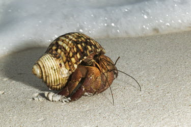 Hermit Crab at shoreline - Seychelles Hermit Crab,Anomura spp,Arthropoda,Arthropods,Decapoda,Crayfish, Lobsters, Crabs,Common hermit crab,Crustacea,Animalia,Coastal,Omnivorous,Europe,Shore,Aquatic,Terrestrial,Pagurus,Common,Paguridae