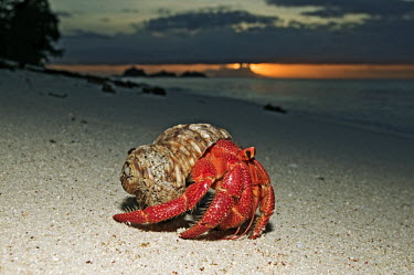 Hermit Crab on sand at sunset - Seychelles Hermit Crab,Anomura spp,Arthropoda,Arthropods,Decapoda,Crayfish, Lobsters, Crabs,Common hermit crab,Crustacea,Animalia,Coastal,Omnivorous,Europe,Shore,Aquatic,Terrestrial,Pagurus,Common,Paguridae