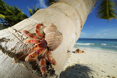 Hermit Crab on a coconut palm tree - Seychelles Hermit Crab,Anomura spp,Arthropoda,Arthropods,Decapoda,Crayfish, Lobsters, Crabs,Common hermit crab,Crustacea,Animalia,Coastal,Omnivorous,Europe,Shore,Aquatic,Terrestrial,Pagurus,Common,Paguridae