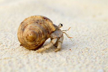 Hermit Crab side vew - Seychelles Hermit Crab,Anomura spp,Arthropoda,Arthropods,Decapoda,Crayfish, Lobsters, Crabs,Common hermit crab,Crustacea,Animalia,Coastal,Omnivorous,Europe,Shore,Aquatic,Terrestrial,Pagurus,Common,Paguridae