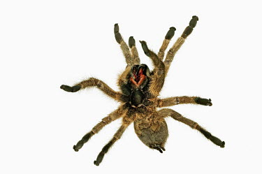 Baboon spider rearing up on hind legs, shot in a studio setting Baboon spider,Theraphosidae