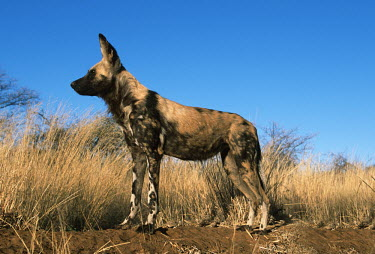 African wild dog standing in grassland - Sub-Saharan Africa African Wild Dog,Lycaon pictus,Carnivores,Carnivora,Mammalia,Mammals,Chordates,Chordata,Dog, Coyote, Wolf, Fox,Canidae,painted hunting dog,Cape hunting dog,Lycaon,Licaon,Cynhyene,Loup-peint,Savannah,C
