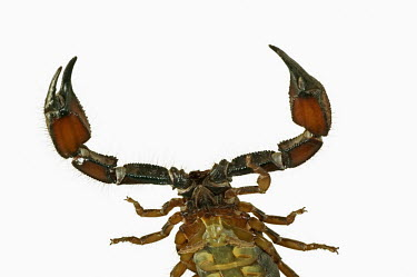 Scorpion head and thorax, view from underneath - South Africa Sand burowing scorpion,Opistophthalmus spp