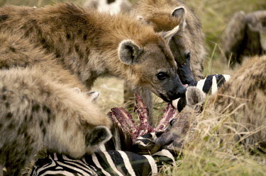 Spotted hyaena at zebra kill - Kenya, Africa Spotted hyaena,Crocuta crocuta,Chordates,Chordata,Hyaenidae,Hyenas, Aardwolves,Carnivores,Carnivora,Mammalia,Mammals,laughing hyena,laughing hyaena,spotted hyena,Savannah,crocuta,Carnivorous,Least Con