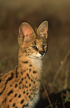 Serval sitting in long grass - Africa Serval,Leptailurus serval,Felidae,Cats,Mammalia,Mammals,Carnivores,Carnivora,Chordates,Chordata,Chat-tigre,Leptailurus,Least Concern,Africa,Savannah,Carnivorous,Animalia,serval,Terrestrial,Appendix II