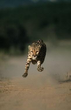 Cheetah sprinting fast towards camera - Africa Big cat,Cheetah,Acinonyx jubatus,Chordates,Chordata,Carnivores,Carnivora,Mammalia,Mammals,Felidae,Cats,Gu�pard,Chita,Guepardo,jubatus,Savannah,Appendix I,Africa,Acinonyx,Critically Endangered,Carnivor
