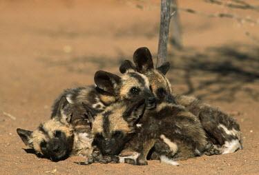African wild dog pups huddle together for warmth & security - Sub-Saharan Africa African Wild Dog,Lycaon pictus,Carnivores,Carnivora,Mammalia,Mammals,Chordates,Chordata,Dog, Coyote, Wolf, Fox,Canidae,painted hunting dog,Cape hunting dog,Lycaon,Licaon,Cynhyene,Loup-peint,Savannah,C