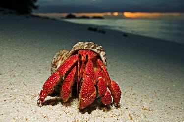 Hermit Crab on sand at sunset, front view - Seychelles Hermit Crab,Anomura spp,Arthropoda,Arthropods,Decapoda,Crayfish, Lobsters, Crabs,Common hermit crab,Crustacea,Animalia,Coastal,Omnivorous,Europe,Shore,Aquatic,Terrestrial,Pagurus,Common,Paguridae