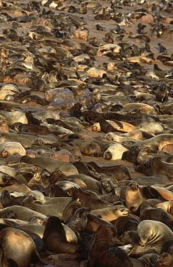 Cape fur seals hauled out - Namibia, Africa Cape fur seal,Arctocephalus pusillus,Otariidae,Eared Seals,Carnivores,Carnivora,Chordates,Chordata,Mammalia,Mammals,Afro-Australian fur seal,Arctocephalus forsteri,Arctocephalus tasmanicus,South Afric