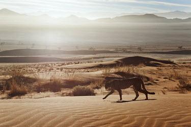Cheetah walking through desert landscape at sunrise - Namibia, Africa Big cat,Cheetah,Acinonyx jubatus,Chordates,Chordata,Carnivores,Carnivora,Mammalia,Mammals,Felidae,Cats,Gu�pard,Chita,Guepardo,jubatus,Savannah,Appendix I,Africa,Acinonyx,Critically Endangered,Carnivor