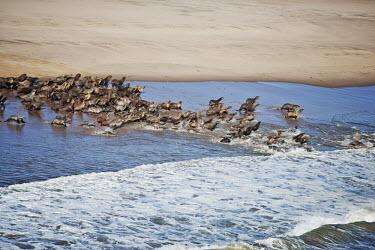 Aerial of Cape fur seal colony - Namibia, Africa Cape fur seal,Arctocephalus pusillus,Otariidae,Eared Seals,Carnivores,Carnivora,Chordates,Chordata,Mammalia,Mammals,Afro-Australian fur seal,Arctocephalus forsteri,Arctocephalus tasmanicus,South Afric