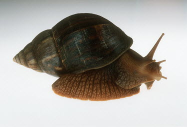 Bushveld land snail shot in a studio setting, side view Chocolate Spotted Auger,Terebra subulata