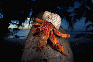 Hermit Crab on a coconut palm tree - Seychelles Hairy Cockle,Plagiocardium setosum,Arthropoda,Arthropods,Decapoda,Crayfish, Lobsters, Crabs,Common hermit crab,Crustacea,Animalia,Coastal,Omnivorous,Europe,Shore,Aquatic,Terrestrial,Pagurus,Common,Pag