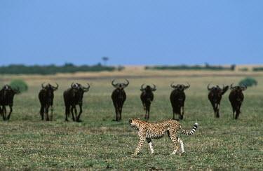 Cheetah walking in front of line of wildebeest - Kenya, Africa Big cat,Cheetah,Acinonyx jubatus,Chordates,Chordata,Carnivores,Carnivora,Mammalia,Mammals,Felidae,Cats,Gu�pard,Chita,Guepardo,jubatus,Savannah,Appendix I,Africa,Acinonyx,Critically Endangered,Carnivor