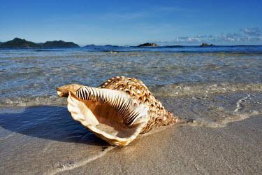 Triton's trumpet sea shell washed up on a beach - Seychelles shell,Close up,environment,ecosystem,Habitat,saltwater,Marine,saline,coast,Coastal,coast line,coastline,Macro,macrophotography,Aquatic,water,water body,exoskeleton,beaches,Beach,Triton's trumpet sea s