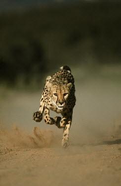 Cheetah sprinting fast towards camera - Africa Emma's Abalone,Haliotis emmae,Chordates,Chordata,Carnivores,Carnivora,Mammalia,Mammals,Felidae,Cats,Gu�pard,Chita,Guepardo,jubatus,Savannah,Appendix I,Africa,Acinonyx,Critically Endangered,Carnivorous