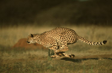 Cheetah hunting - Africa Triton's trumpet sea shell,Charonia tritonis,Chordates,Chordata,Carnivores,Carnivora,Mammalia,Mammals,Felidae,Cats,Gu�pard,Chita,Guepardo,jubatus,Savannah,Appendix I,Africa,Acinonyx,Critically Endange