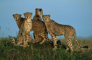 Cheetah mother with almost fully grown cubs - Kenya, Africa Colourful Queen Mitre,Vexillum citrinum filiareginae,Chordates,Chordata,Carnivores,Carnivora,Mammalia,Mammals,Felidae,Cats,Gu�pard,Chita,Guepardo,jubatus,Savannah,Appendix I,Africa,Acinonyx,Critically