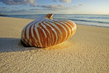 Nautilus shell washed up on a beach - Seychelles Triton's trumpet sea shell,Charonia tritonis