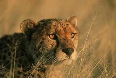 Cheetah in stalking pose - Africa White lady spider,Leucorchestris arenicola,Chordates,Chordata,Carnivores,Carnivora,Mammalia,Mammals,Felidae,Cats,Gu�pard,Chita,Guepardo,jubatus,Savannah,Appendix I,Africa,Acinonyx,Critically Endangere