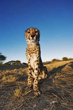 Cheetah sitting portrait - Namibia, Africa Bull mouth Helmet,Cypraecassis rufa,Chordates,Chordata,Carnivores,Carnivora,Mammalia,Mammals,Felidae,Cats,Gu�pard,Chita,Guepardo,jubatus,Savannah,Appendix I,Africa,Acinonyx,Critically Endangered,Carni