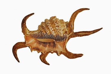 Chiragra spider conch against a white background Spotted hyaena,Crocuta crocuta